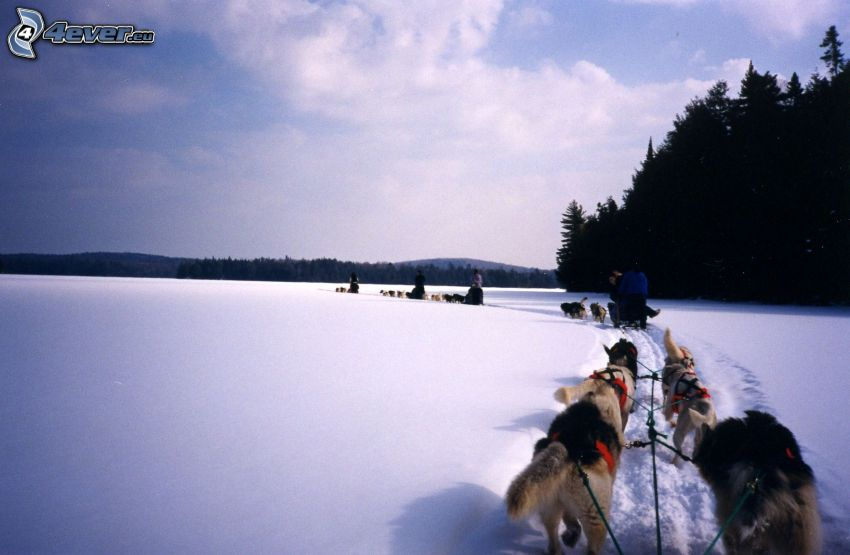 psie záprahy, preteky, sneh