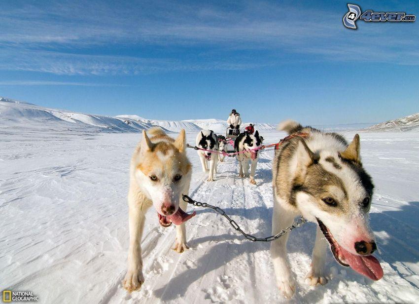 psie záprahy, Sibírsky husky, zasnežená krajina, Nórsko