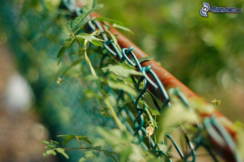 drôtený plot, rastlina