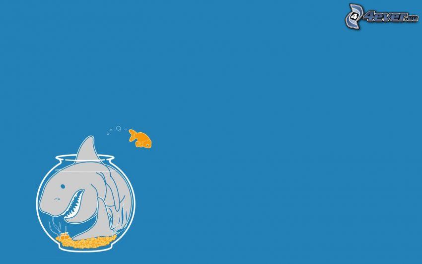 žralok, zlatá rybka, akvárium
