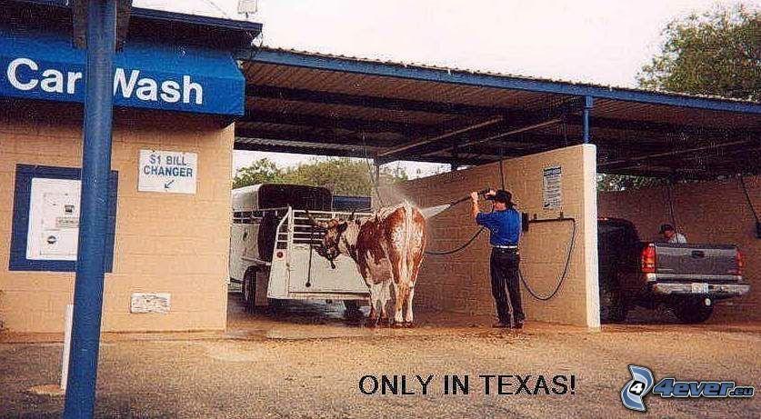 Texas, auto-umyváreň, krava
