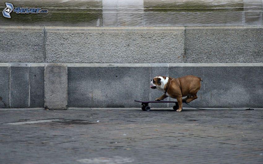 Anglický buldog, skateboard