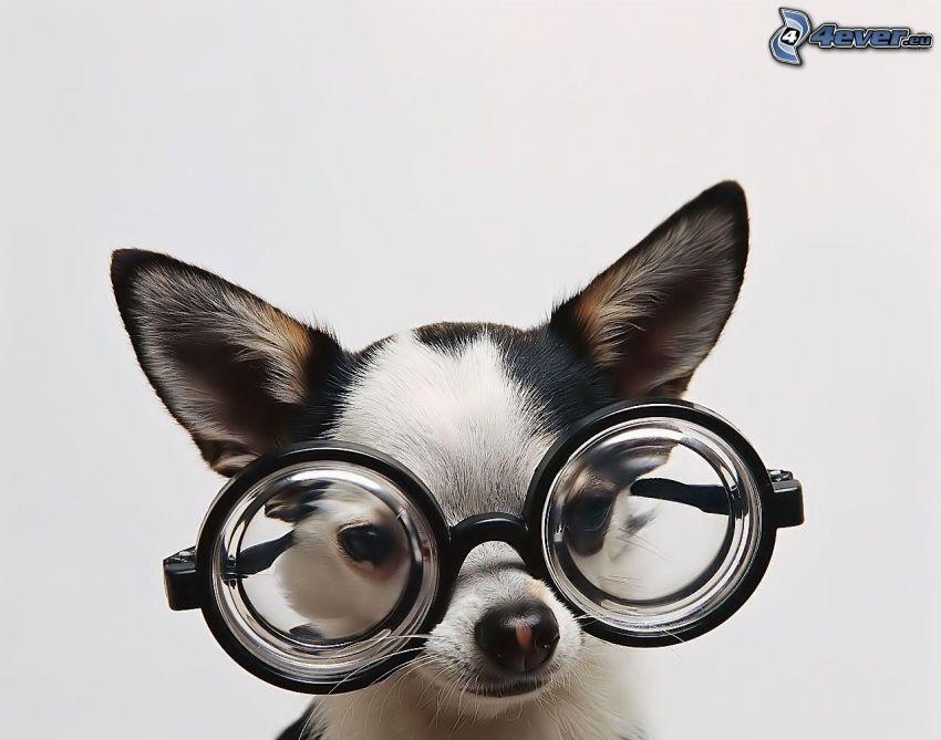 čivava, okuliare