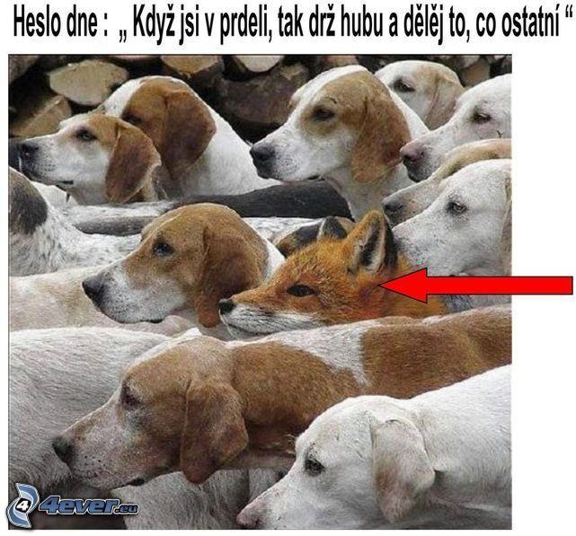 líška, psi