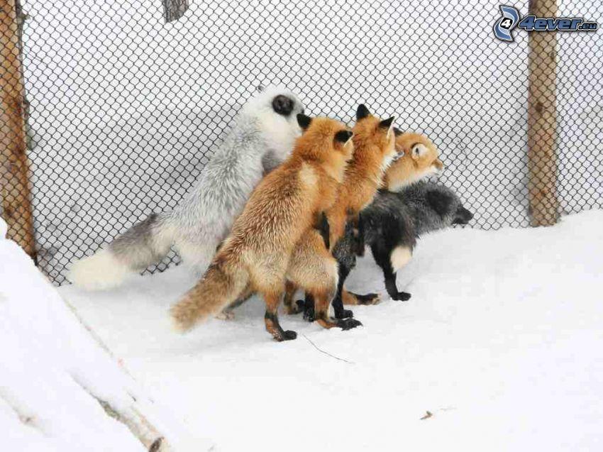 líšky, pes, sex, drôtený plot