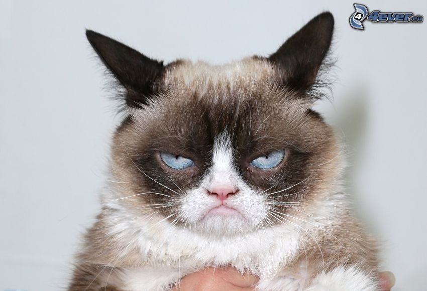 mačka, pohľad, modré oči