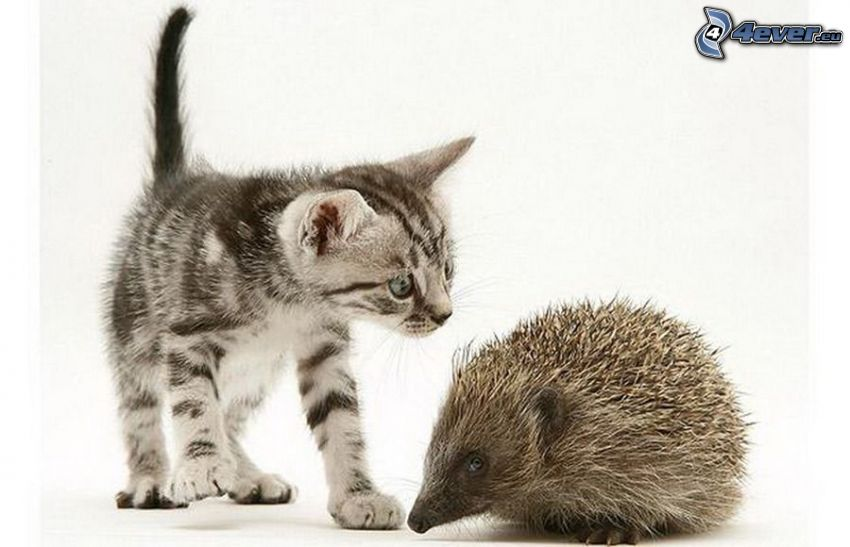 malé sivé mačiatko, ježko