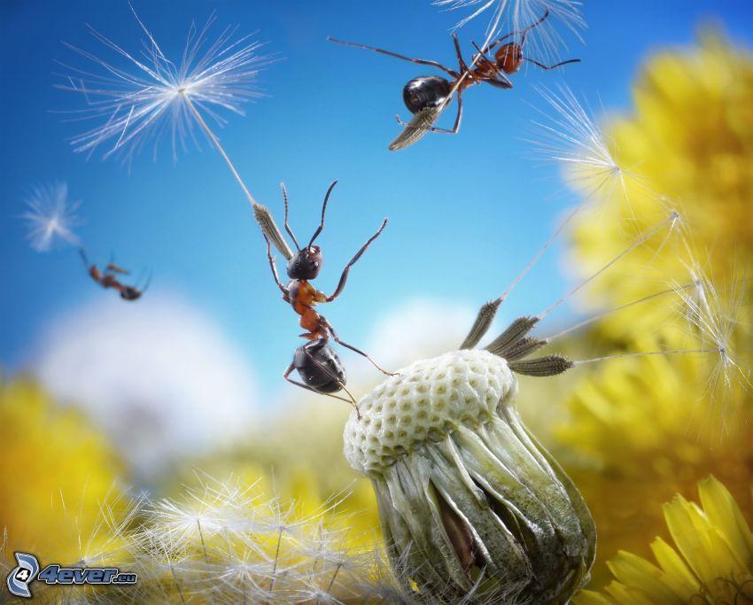 mravce, semienka púpavy, odkvitnutá púpava, let