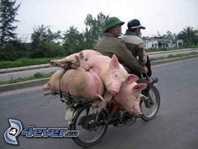 náklad, prasa, motorka, Čína
