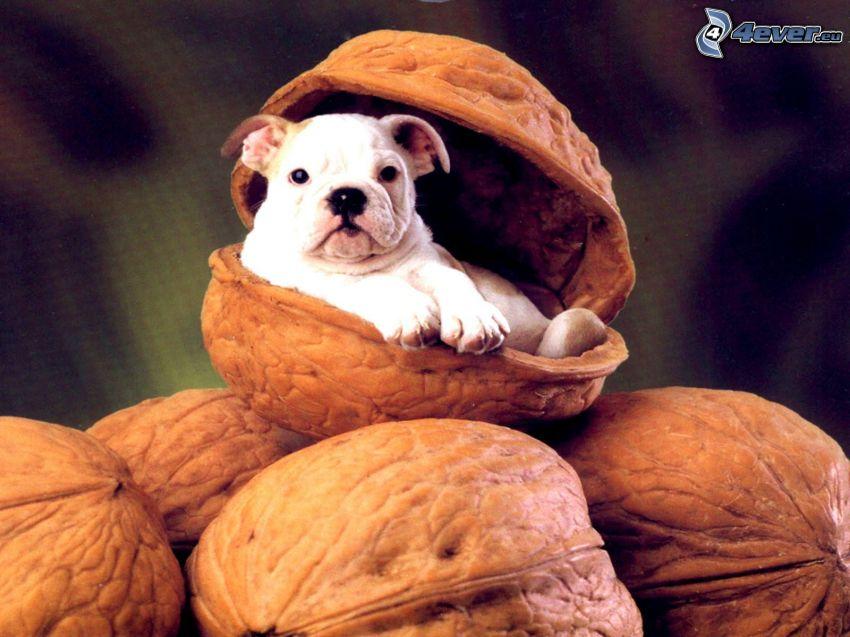 pes, škrupina, vlašské orechy