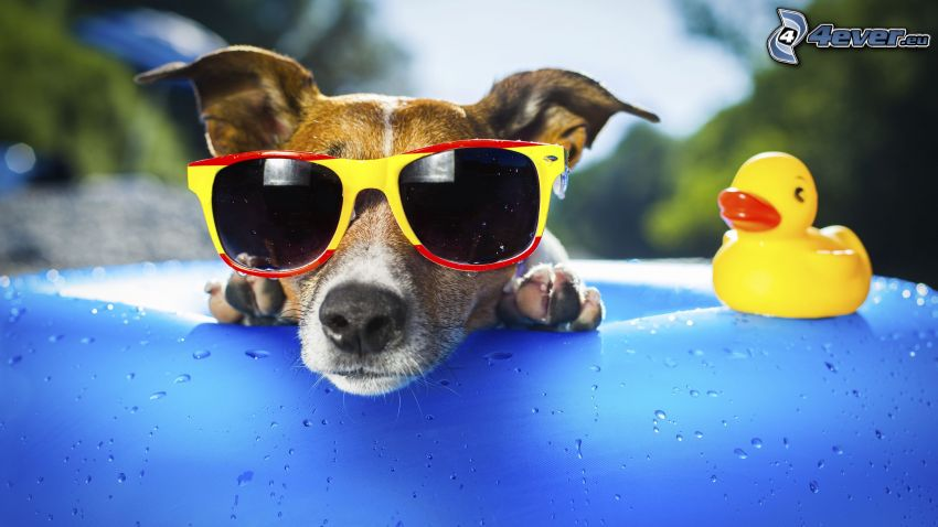 pes, slnečné okuliare, kačička, bazén