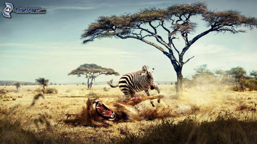 súboj, lev, zebra, savana, divočina