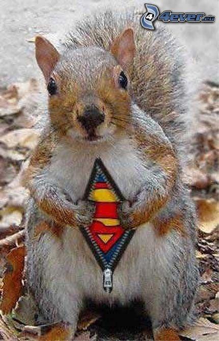 veverička, Superman