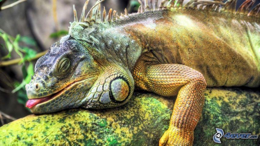 chameleón, spánok, vyplazený jazyk