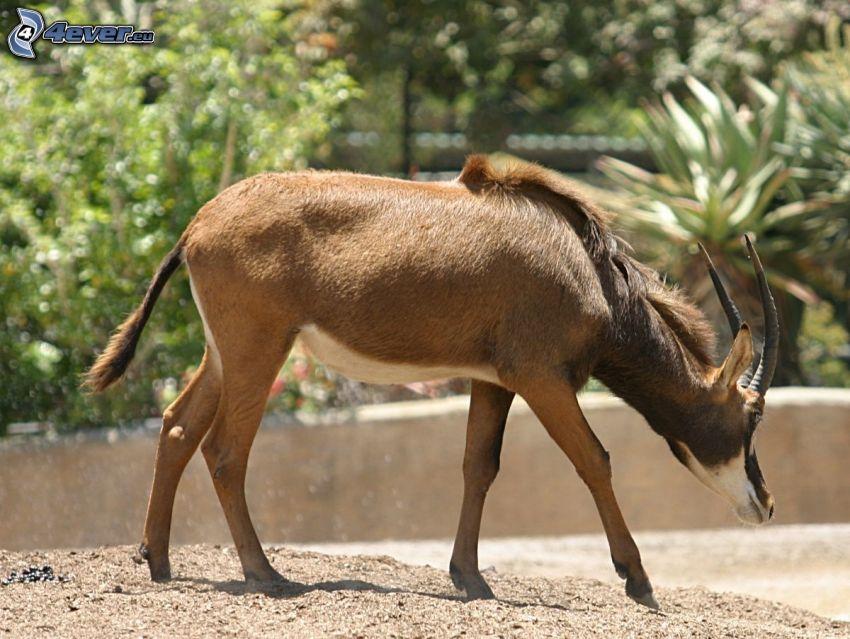 Antilopa Vraná