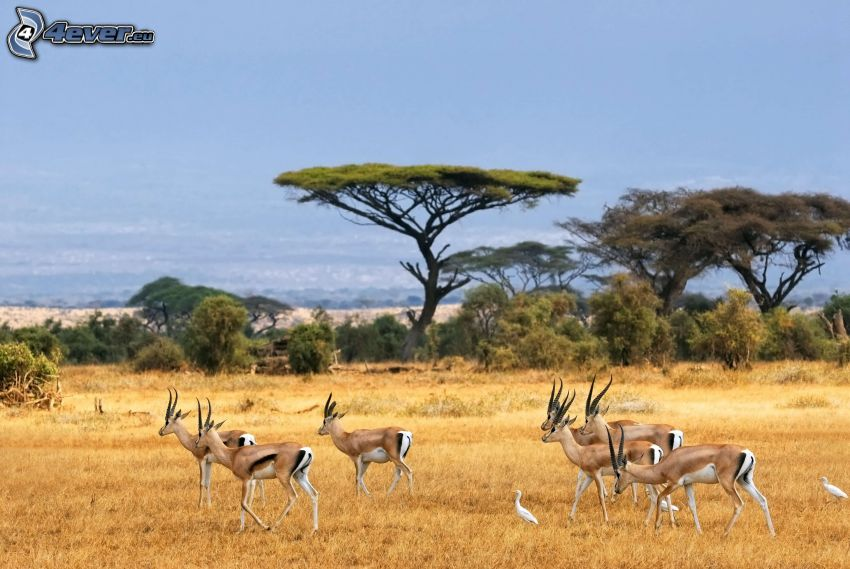 antilopy, Safari, stromy