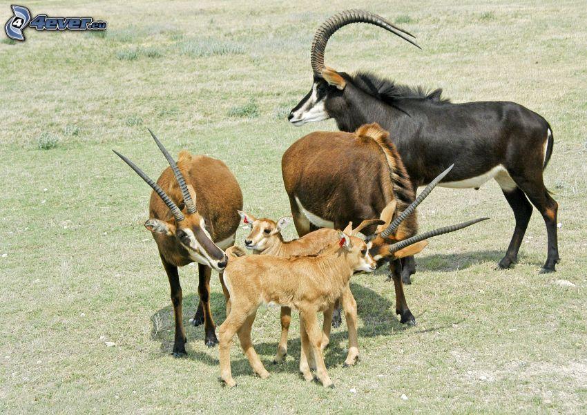 antilopy
