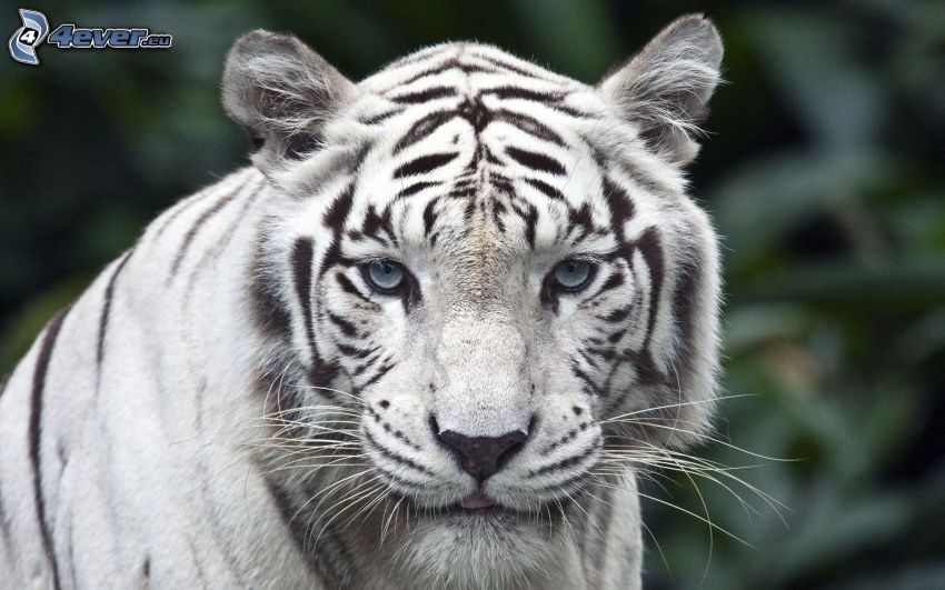 biely tiger