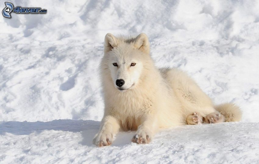 biely vlk, sneh
