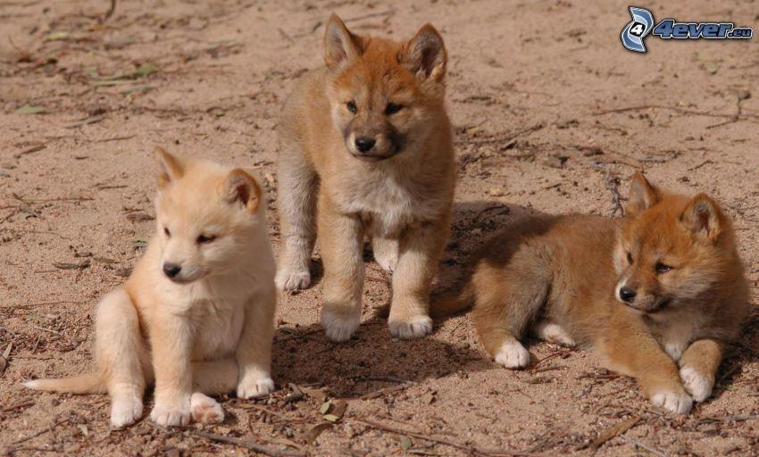 dingo, mláďatá