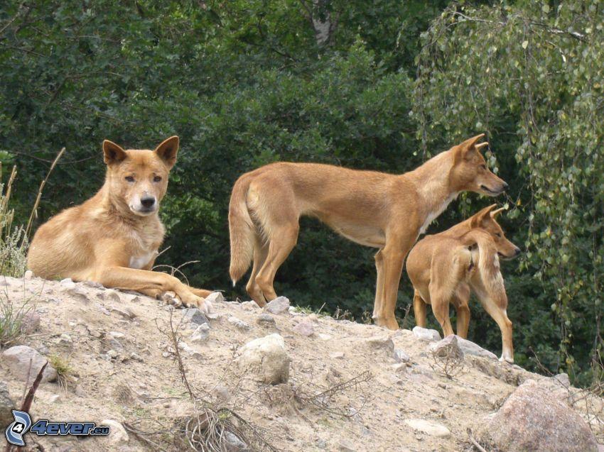 dingo, stromy