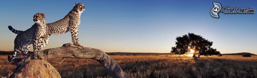 gepardy, kmeň, silueta stromu, západ slnka