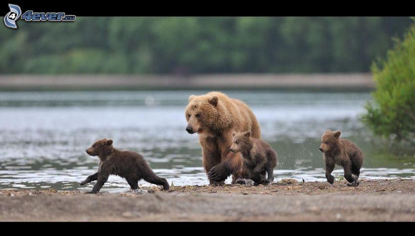 hnedé medvede, mláďatá, jazero