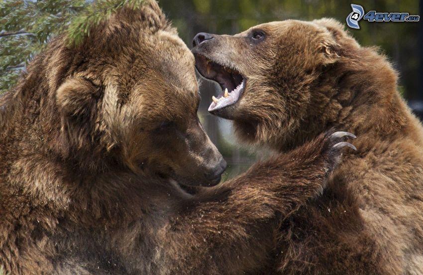 hnedé medvede