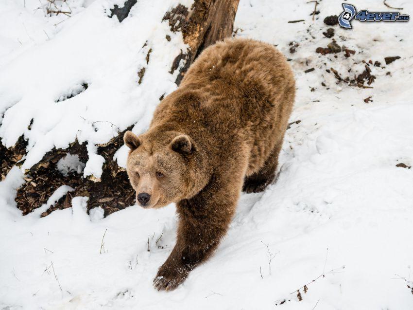 hnedý medveď, sneh