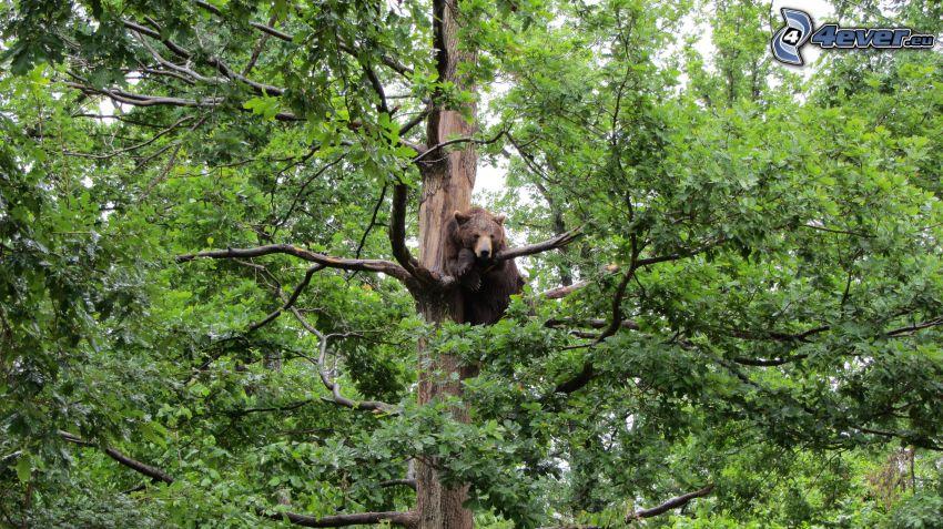 hnedý medveď, strom