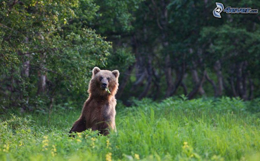 hnedý medveď, vysoká tráva