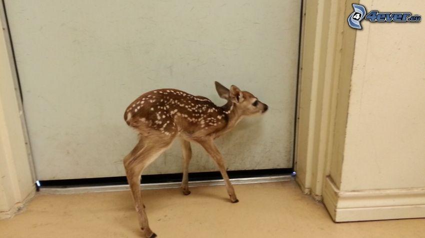 jeleň, mláďa, dvere