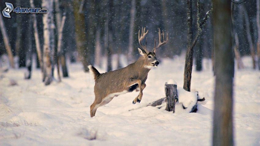 jeleň, skok, zasnežený les