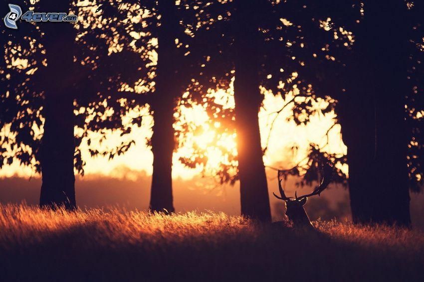 jeleň, západ slnka v lese, siluety