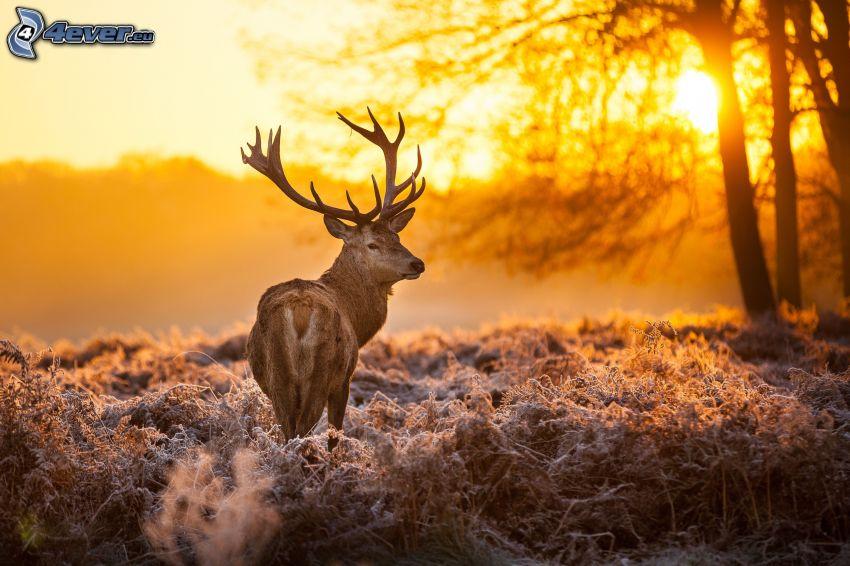 jeleň, západ slnka v lese