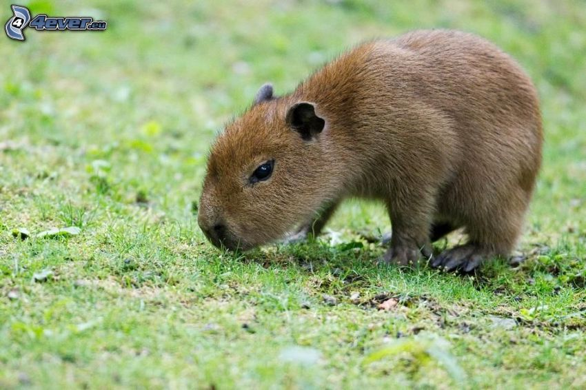 kapybara, mláďa, tráva