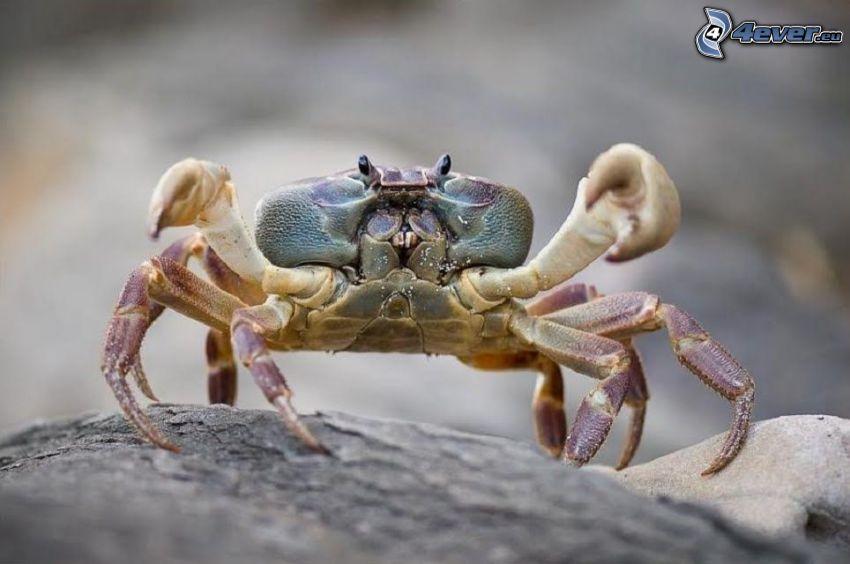 krab, kameň