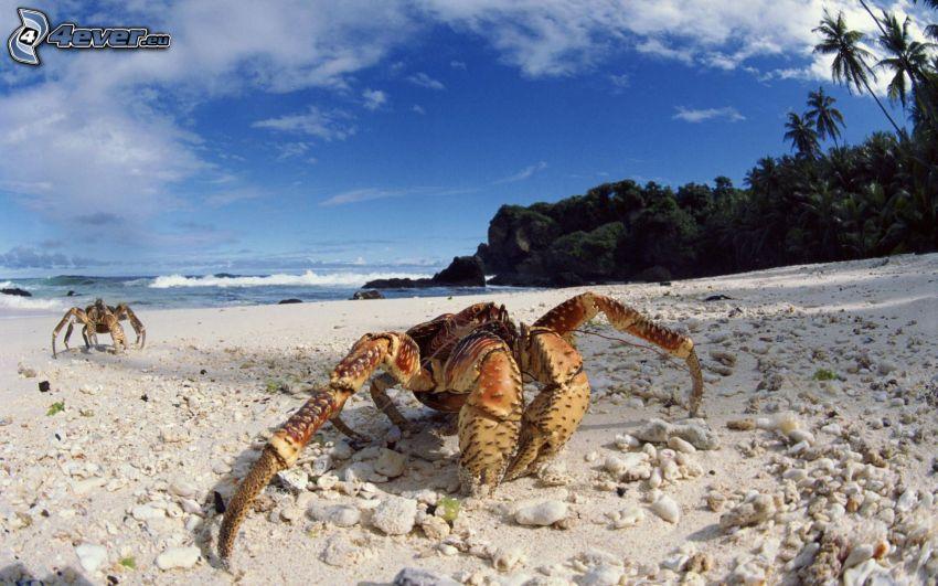 krab na pláži, piesočná pláž
