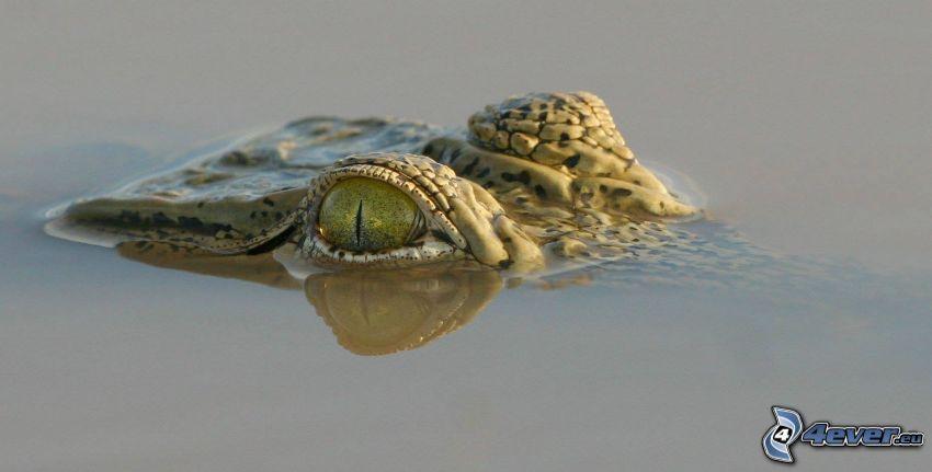 krokodíl, voda, oči