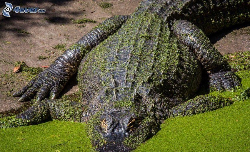 krokodíl, voda, riasy
