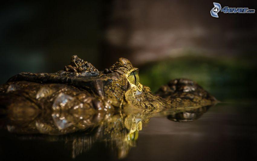 krokodíl, voda