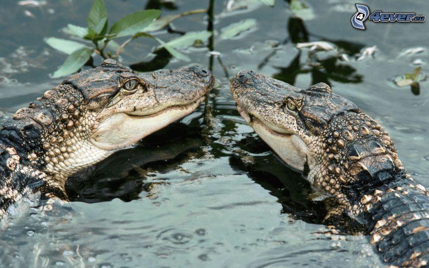 krokodíly, voda