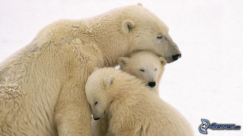 ľadové medvede, objatie