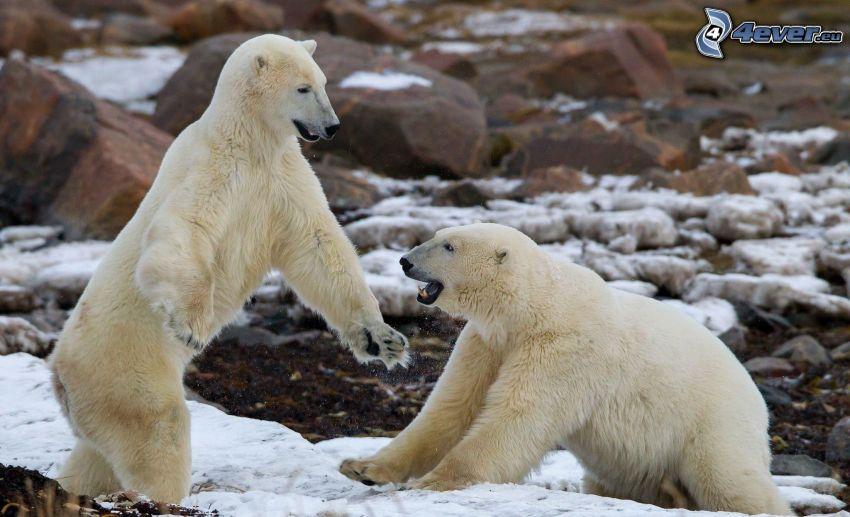 ľadové medvede, sneh