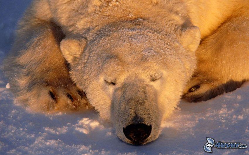 ľadový medveď, spánok, sneh