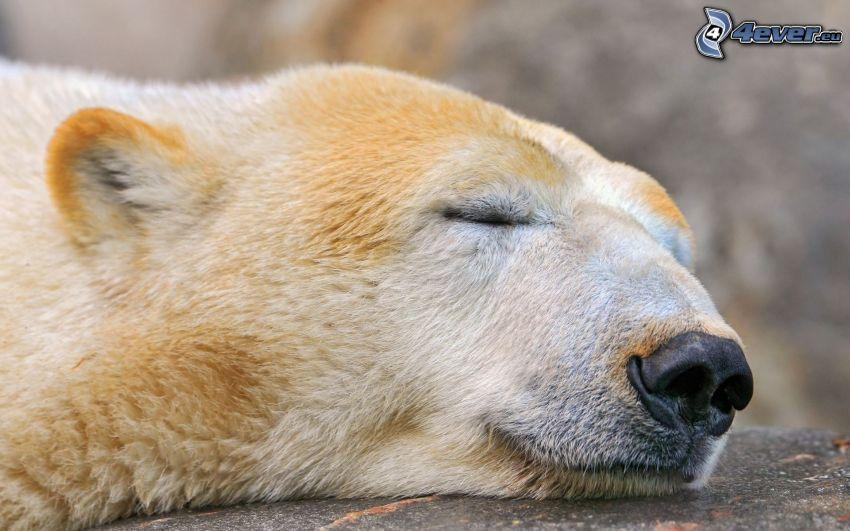 ľadový medveď, spánok