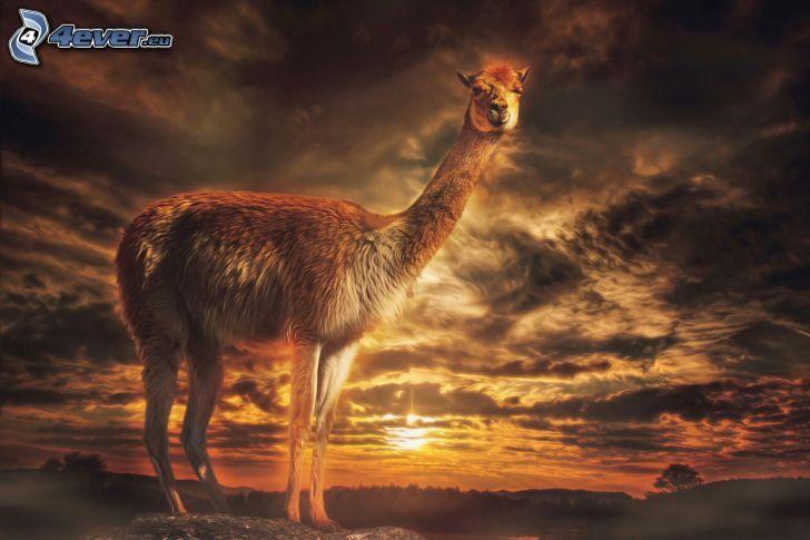 lama, západ slnka