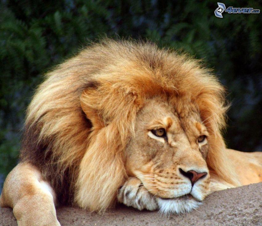 lev, smútok