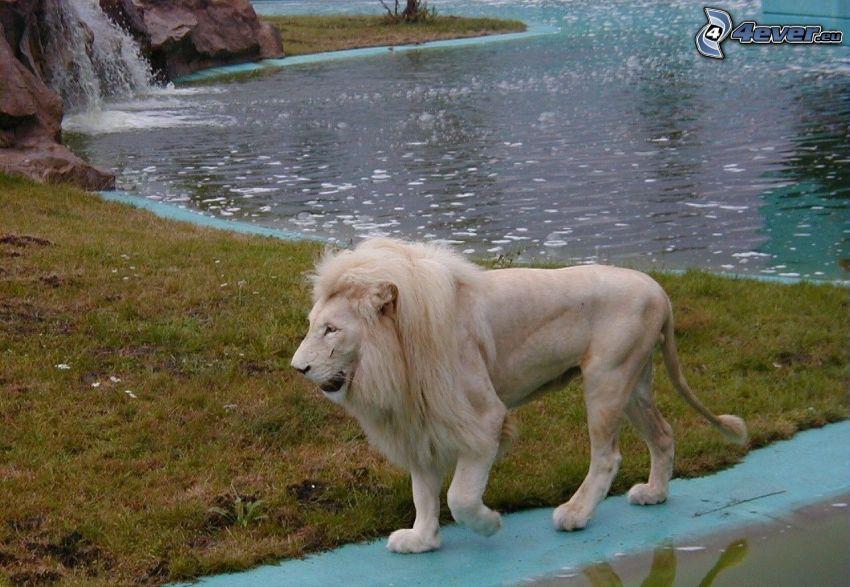 lev, voda