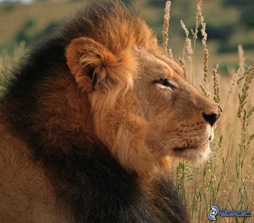 lev, vysoká tráva